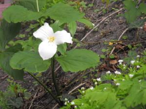 Trillium in Springtime